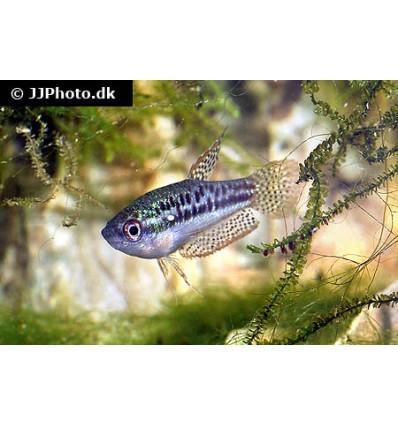 Pygmæ gurami (Trichopsis pumila)