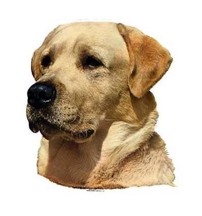 Dekal Labrador Retriever Hvede Farvet Stor ca. 17 cm.